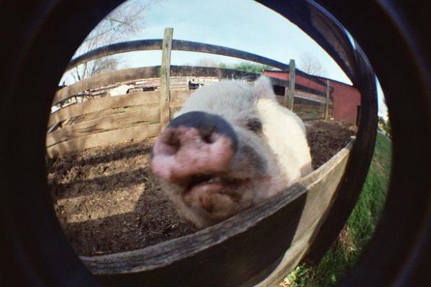 Pig in mirror